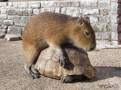 Animals Sitting on Capybaras #cute #animals #friends