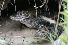 Reintroduced Chinese alligators now multiplying in the wild in ...