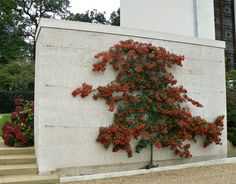 Espaliered Pyracantha - could be good as can train flat to fence allowing more plants to grow up front? White, strong flowers and berries in autumn. Espalier Fruit Trees, Trees To Plant, Back Gardens, Small Gardens, Outdoor Plants, Outdoor Gardens, Plant Design, Garden Design, Bonsai