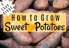 How To Grow Sweet Potatoes In 5 Easy Steps! - My Homestead Life Sweet Potato Plant Vine, Sweet Potato Leaves, Sweet Potato Slips, Regrow Vegetables, Planting Vegetables, Sweet Potato Noodles, Sweet Potato Casserole, Potato Gardening, Gardening Tips