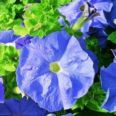 PETUNIA - DREAMS SERIES (PELLETED) Height 14 to 16 inches. Spread 18 to 20 inches. This popular petunia produces large 7 to 10 centimeter, ruffled flowers. Good pack performance with compact habit, li