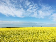 You might find an overwhelming shock of colour on the prairies, like at this Alberta canola field.