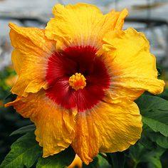 Tropical Hibiscus 'Sunflower'
