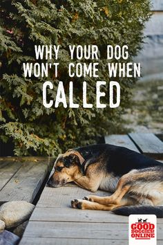 If your dog doesnt listen when you call, heres the reason your dog or puppy isnt coming when you call his name. Check out these dog training tips on recall for dogs to help you have a dog that obeys and comes. Blue Merle, Training Your Puppy, Dog Training Tips, Potty Training, Agility Training, Training Classes, Training Videos, Dog Agility, Training Equipment