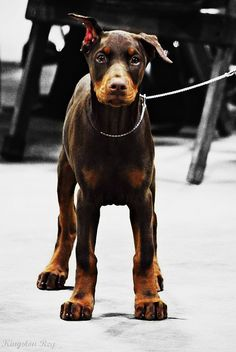 Doberman Puppy--I love how big puppies grow into their legs and feet, so cute with the giant paws!