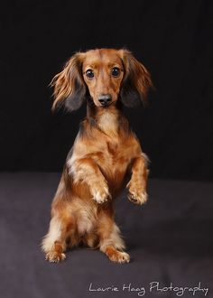 Penny, America's next top dachshund takes to the runway