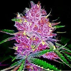 Pretty Cannabis Plant