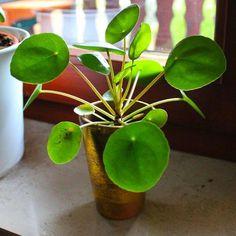 Le pilea, appelé aussi « plante à monnaie chinoise » (à cause de ses feuilles en forme de bulles vertes ressemblant à des pièces) provient, comme son nom l'indique, de Chine. C'est une plante subtropicale et donc parfaitement adaptée à la culture en intérieur. Ce végétal atteindra rapidement sa taille adulte d'environ 30 cm.  Impossible pour le pilea de recevoir une lumière directe, sous peine de brûler son feuillage, surtout en été. Il appréciera une légère luminosité, mais n'est pas très…