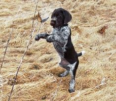 German-Wirehaired-Pointer_004 #hunting #dogs #1816 #remington
