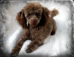 Chocolate Tiny Toy Tuffy saying I will love you forever! Tiny Toy Poodle, Small Poodle, Poodle Mix, Poodle Puppies, Cute Puppies, Dogs And Puppies, Doggies, Chocolate Poodle, Red Poodles