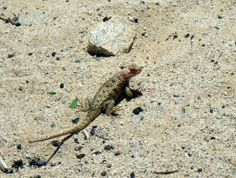 "A lizard in the ""Valley of the Giants"" http://bajabybus.com/blog/item/21-valle-de-los-gigantes"