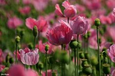 Oriental poppy in pink by Klaus Heinemann on 500px