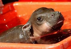 I officially want a baby hippo as my pet. :) I officially want a baby hippo as my pet. :) I officially want a baby hippo as my pet. :) I officially want a baby hippo as my pet. Cute Little Animals, Cute Funny Animals, Baby Hippopotamus, Wanting A Baby, Lion, Tier Fotos, Safari Animals, Wild Animals, Animals Beautiful