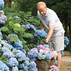 French Hydrangeas, would love to have these at the wedding in a deep purple