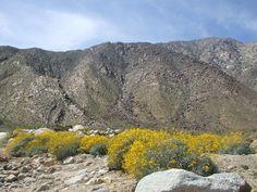 Brittlebush in Anza-Borrego Desert, CA.  View Pictorial Blog here:  http://therewildwest.wordpress.com/2012/07/18/pictorial-highlight-anza-borrego-desert-1/