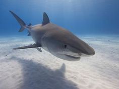 Shot Of Bahamas Tiger Shark Wins Scuba Tours Worldwide's Underwater Photographic…