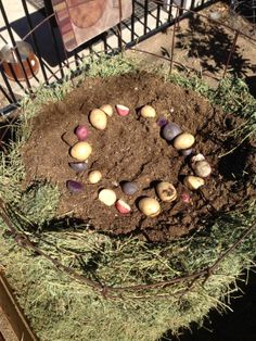 We put potatoes in a circle by the outside of the ring so the leaves will grow out the sides.  Some hay on the outside, some dirt in the middle and sprouts in a circle by the edge every foot as we went up.