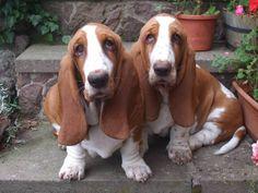 Adorable!! I love basset hounds!