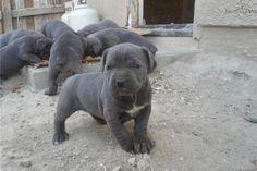 Bonnie Blue Cane Corso Cane Corso Mastiff Puppies Giant Dog Breeds