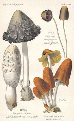 1891 Shaggy Ink Cap, Inky Cap Fungus and Mica Cap Mushroom Original Antique Lithograph to Frame. $19.95, via Etsy.