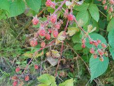 Are these raspberries or blackberries? #gardening #garden #gardens #DIY #landscaping #home #horticulture #flowers #gardenchat #roses #nature