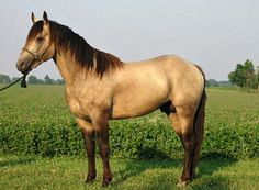 American Quarter Horse. Buckskin is one of the most desired colors of the most popular breed in the US. This buckskin also has the silver dapple gene, changing black points to chocolate.