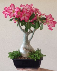 Bonsai Rosa del desierto S.R. you should try it with the desert rose