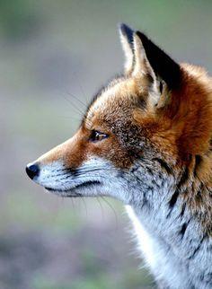 Magnificent profile. Such handsome creatures.