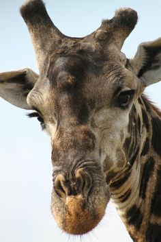 giraffe with attitude
