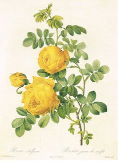 "Pierre Joseph Redoute was a painter and botanist who created the most realistic roses in watercolor.  Rose Sulphur is a lovely yellow rose offered as an 11.5"" x 16"" mono deluxe needlepoint canvas. It is available as a 14, 16 or 18 count - and best rendered in the smallest count you can manage for shading and details. Please indicate your mesh preference in the Notes section at Checkout. We are happy to select and add appropriate wool or silk threads or a combination of both to help co…"