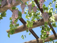 grape vine on pergola Truly one of the best climbing plants for pergolas, grape vine will not only give shade and a warm sitting place but juicy grapefruits too. You can grow this in a variety of climates. Grapevine varieties are native to Mediterranean, Central Asia, America and South West Asia, thus cultivars available diversely. Here's an interesting article on training grapevine on arbor, which you can read.
