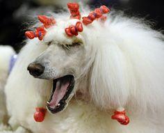 Sparkle the Standard Poodle yawns backstage