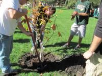 See how to plant fruit trees: apples, pears, plums. Planting Fruit Trees, Trees To Plant, Tree Stakes, Black Walnut Tree, Old Farmers Almanac, Fast Growing Trees, Peat Moss, Top Soil, Clay Soil