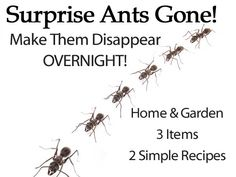 surprise ants gone make them disappear overight