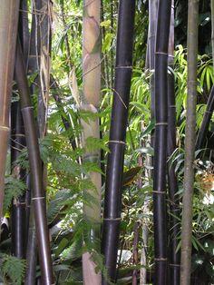 Black bamboo at Flecker Botanical Garden Cairns Australia, - Modern Bamboo Art, Black Bamboo, Bamboo Garden, Garden Trellis, Cairns Australia, Australia Living, South Australia, Fast Growing Plants, Growing Greens