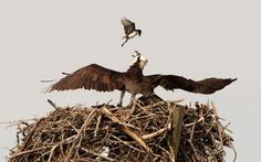 The little flycatcher is attacking the Osprey in its nest
