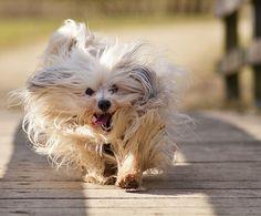 Гаванский бишон – характеристика породы | Карликовые породы собак