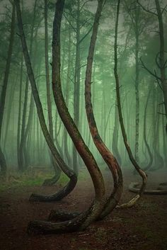 Crooked Forest in New Czarnoeiw Poland