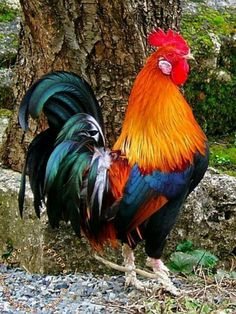 A rainbow of colors on this rooster.