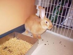 Brown Sugar is an adoptable Flemish Giant Rabbit in Baraboo, WI.  Special needs refers to missing upper incisors & will need regular botton incisor trimming :( Thank you for considering a companion an...