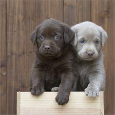 Heidi Bollich - Labrador puppies III