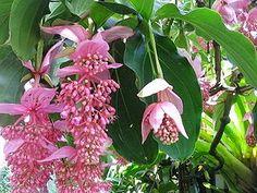 Kwiaty w domu i ogrodzie: Medinilla - wspaniała roślina dla doświadczonych