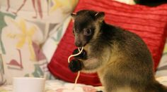 I DO love my sketti. Tree kangaroo joey
