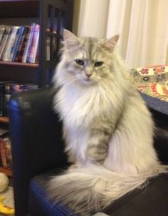 Life with Siberian Cats :)
