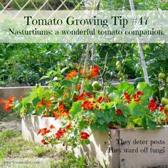 Companion Planting Companion plants for tomatoes: tomato and nasturtium with Tomato Dirt - What companion plants to grow with tomatoes. How to boost your tomatoes by planting best companion plants that deter pests, save space, and improve tomato health. Vegetable Garden Soil, Garden Pests, Vegetable Ideas, Home Grown Vegetables, Growing Vegetables, Veggies, Fresh Vegetables, Growing Tomatoes In Containers, Grow Tomatoes