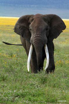 Old Tusker - Ranger Diaries Bull Elephant, Elephant Love, Elephant Photography, Wildlife Photography, Majestic Animals, Animals Beautiful, Cute Baby Animals, Animals And Pets, All About Elephants