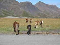 Islandpferde leben frei