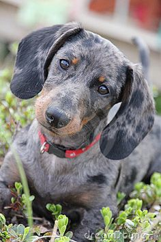 Dapple Dachshund by Jody A. Van Slembrouck, via Dreamstime Dachshund Funny, Dachshund Puppies, Weenie Dogs, Dachshund Love, Cute Puppies, Cute Dogs, Dogs And Puppies, Doggies, Dapple Dachshund Miniature