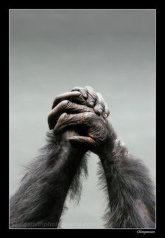 #Chimpanzees United