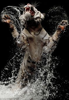 A series of extraordinary photos show a rare white tiger lunging into water at feeding time to fight for food. Female photographer Birte Person captured the astonishing shots of the white Bengal tiger. Beautiful Cats, Animals Beautiful, Bengalischer Tiger, Snow Tiger, Wild Tiger, White Bengal Tiger, White Tigers, Bengal Cats, Animals And Pets